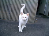 Kirishima_white_cat