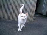 Kirishima_white_cat