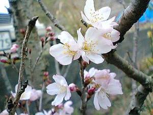 Sakura060223_1